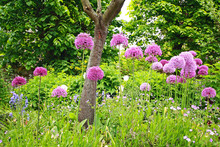 A Group Of Beautiful Allium Flowers
