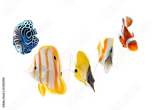 Fotografie, Tablou  reef fish, marine fish isolated on white background