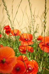 FototapetaField of Poppy Flowers Papaver rhoeas in Spring
