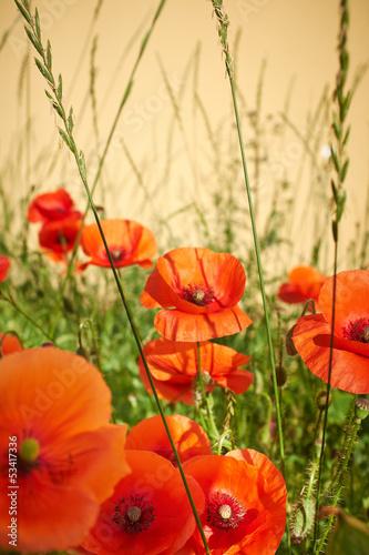 Field of  Poppy Flowers Papaver rhoeas in Spring - 53417336