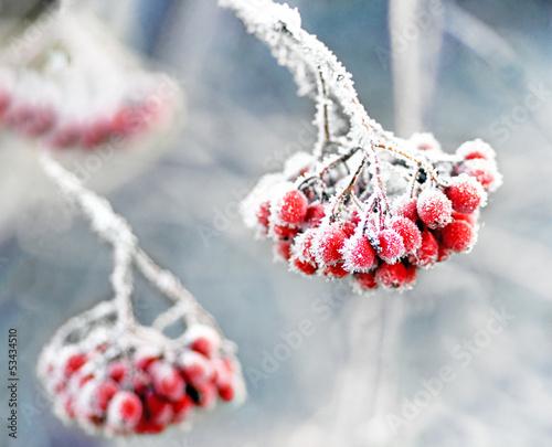 Fotografie, Obraz  Frozen rowan berries