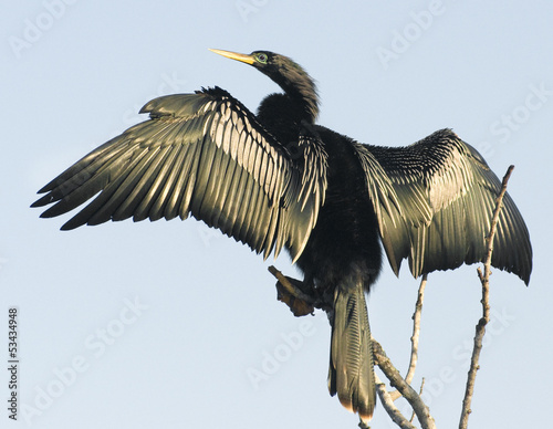 Magnificent Anhinga Bird Spreading Wings Canvas Print