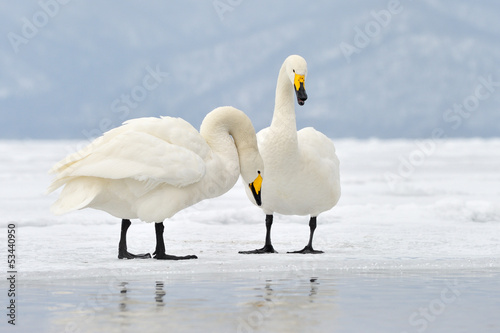 Two Whooper Swans at courtship. Tapéta, Fotótapéta