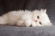 Adorable White Persian Kitten