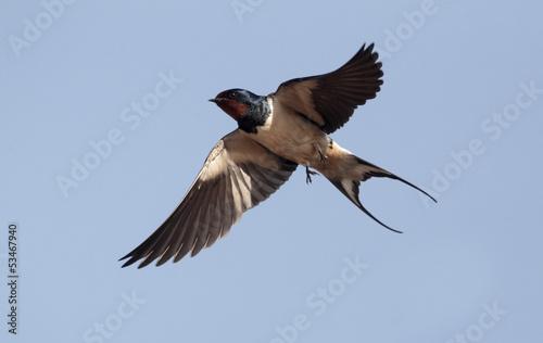 Foto auf AluDibond Vogel Swallow, Hirundo rustica