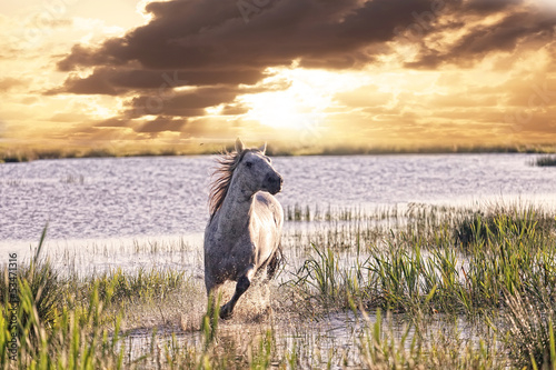 gray horse runs on water against a sunset