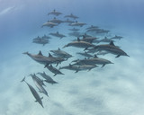 Pod of spinner dolphins in a sandy lagoon