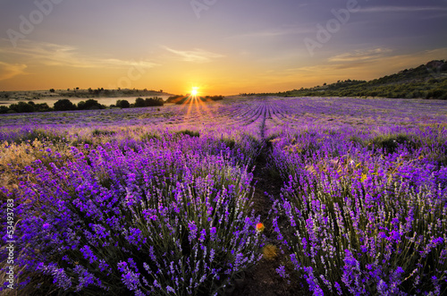 Poster Lavendel Sunset over lavender field