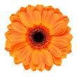 Leinwandbild Motiv Orange Gerbera Flower Isolated on White
