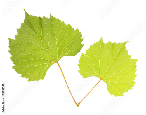 Beautiful green leafs isolated on white