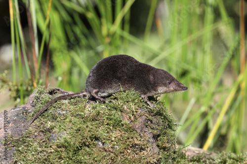 Fotografie, Obraz  Water shrew, Neomys fodiens