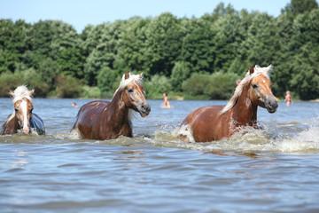 Batch of chestnut horses running in water