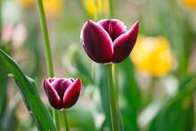Purple Tulips On Meadow