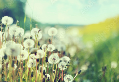 Fototapety, obrazy: Photo presenting field of dandelions