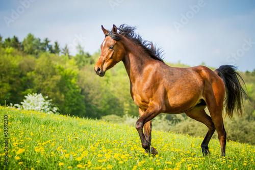 Foto auf AluDibond Pferde Stolzer Araber