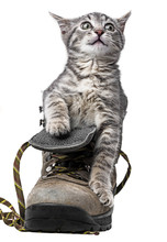 Little Kitten Playing In A Shoe