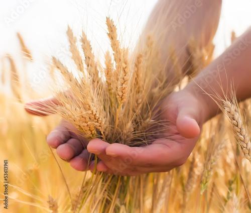 Fototapeta young farmer in a wheat field obraz