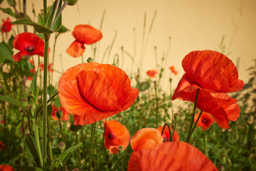 FototapetaMeadow with beautiful bright red poppy flowers in spring