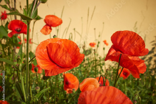 Meadow with beautiful bright red poppy flowers in spring - 53628153