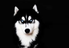 Close Up On Blue Eyes Of A Dog...