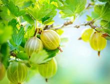 Gooseberry. Fresh And Ripe Org...