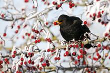 Blackbird, Turdus Merula, Male