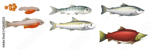 Obraz na płótnie Life Cycle of Salmons