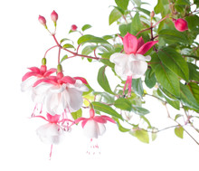 White  And Red Fuchsia Flower Isolated On White Background