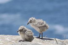 Two Gull Chicks