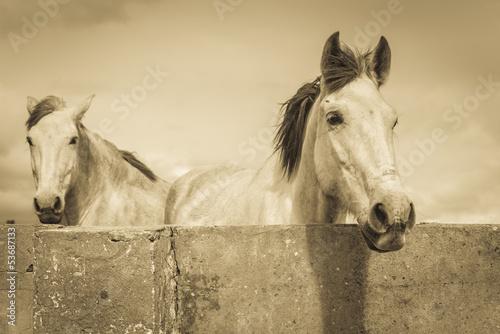 dwa-biale-konie