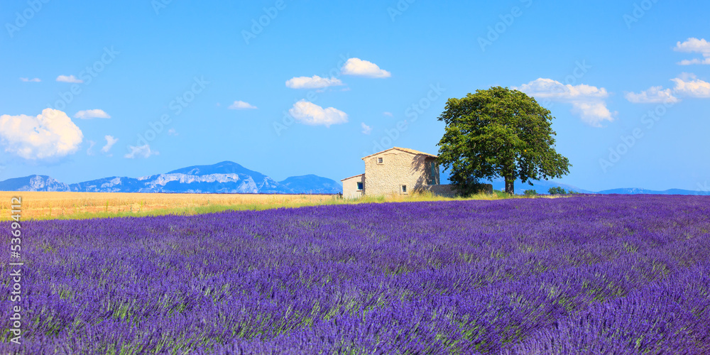 Fototapety, obrazy: Lavender flowers blooming field, house and tree. Provence, Franc