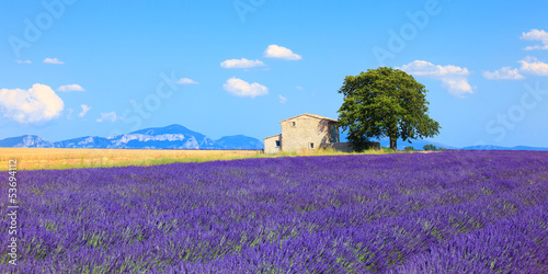 Lavender flowers blooming field, house and tree. Provence, Franc Poster