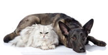 Black Dog And Persian Lying Together Cat. Isolated