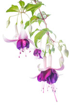 Violet And Pink Fuchsia Flower...