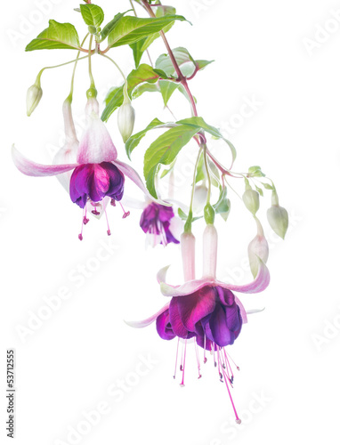 Fotografie, Tablou violet and pink fuchsia flower with bud isolated on white backgr