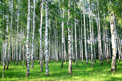 Beautiful summer birch grove in the evening sunlight