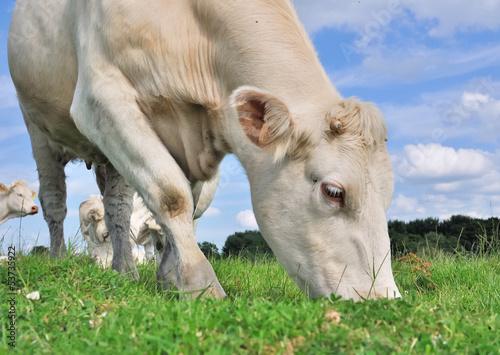 Foto vache broutant l'herbe