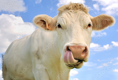 La pose en embrasure Vache portrait humoristique d'une vache