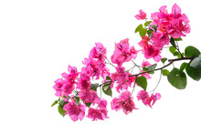 Bougainvillea  Isolated