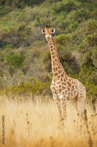 Naklejki żyrafa  singal-giraffe-in-the-wild