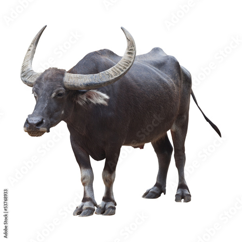 Photo sur Aluminium Buffalo Buffalo isolated on the white background