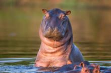 Curious Hippo