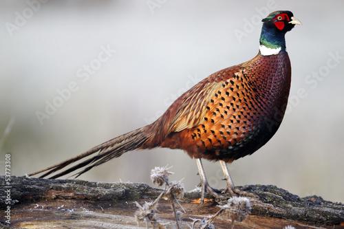 Fototapeta Common pheasant, Phasianus colchicus