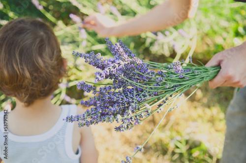 Photo  Harvesting lavender