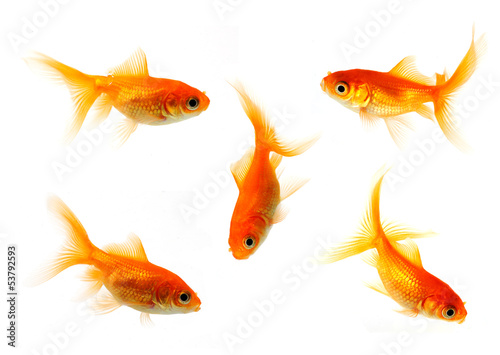 Fotografie, Tablou goldfish collection