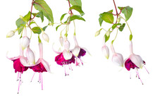 Branches Pink And White Fuchsia With Bud Isolated On White Backg