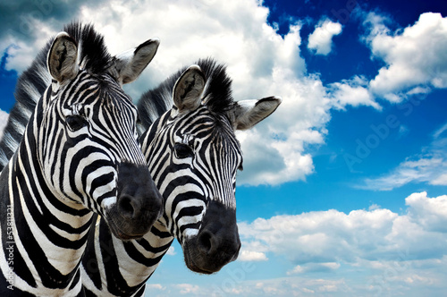 Montage in der Fensternische Zebra Zebra pair