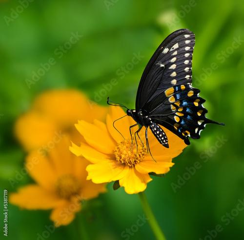 Black Swallowtail butterfly feeding on yellow Tickseed flower