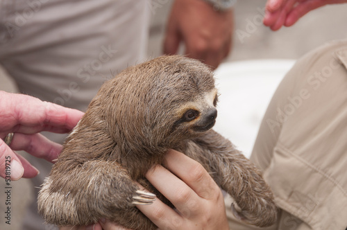 Three-toed sloth in a rain forest market