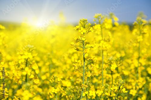 Ingelijste posters Geel Flowering rapeseed